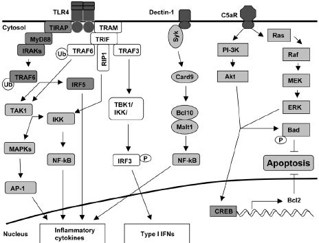 pattern recognition receptor apoptosis fig 1 signaling pathways downstream of representative
