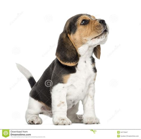beagle puppy howling beagle puppy howling looking up isolated royalty free stock photography image