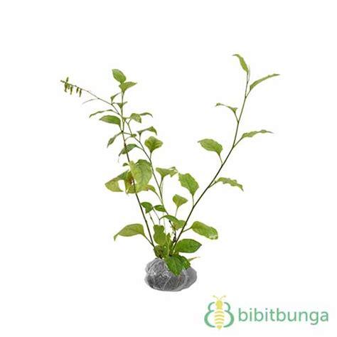 tanaman encok bibitbunga