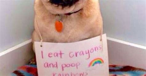 pug i eat crayons and rainbows i eat crayons and rainbows doofus dogs crayons and rainbows