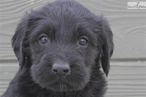 chocolate labradoodle puppies for sale near me labradoodle puppy for sale near toledo ohio 70f09da9 f4e1