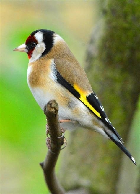 themes goldfinch best 25 goldfinch ideas on pinterest beautiful birds