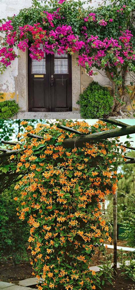 20 favorite flowering vines for the fence and arbor a