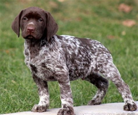 german shorthair german shorthaired lab german shorthaired pointer x lab mix info pictures