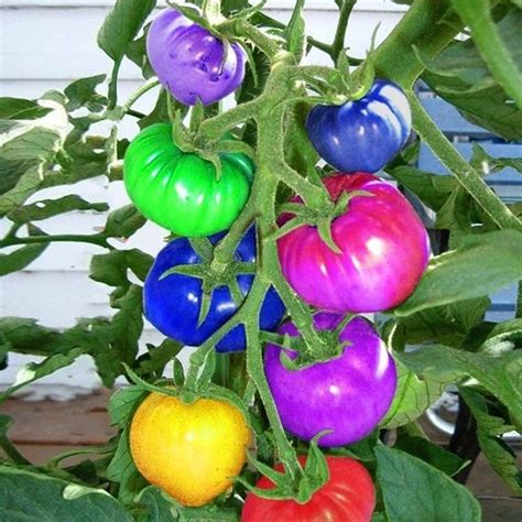 100Pcs Rainbow Tomato Seeds Colorful Bonsai Organic