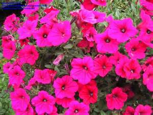 petunia colors plantfiles pictures petunia trailing petunia tidal wave