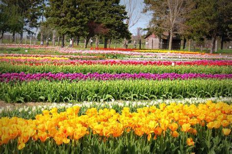 veldheer tulip farm holland mi httpchicagoindian