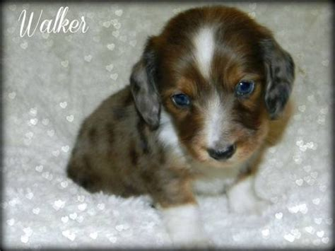 miniature dachshund puppies for sale in florida mini dachshund puppies for sale florida dapple piebald puppies breeds picture