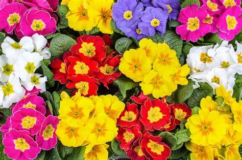 fiori da giardino primaverili fiori primaverili a tutto colore e profumo