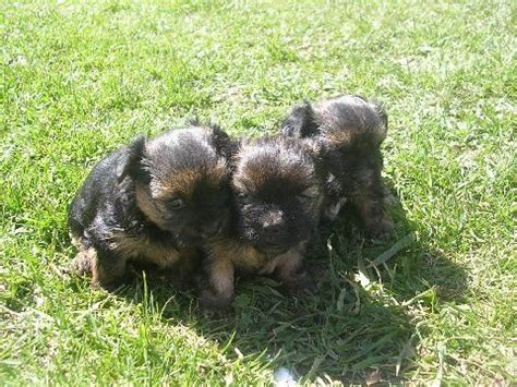 free puppies bay city mi shorkie puppies for sale adoption from bay city michigan