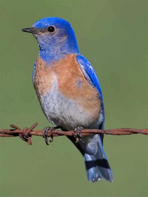 file western bluebird male jpg wikimedia commons