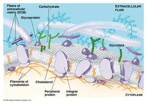 a cellular carbohydrates carbohydrates carbohydrates function in cell