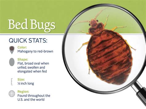 where can bed bugs live where do bed bugs come from identify bed bugs info