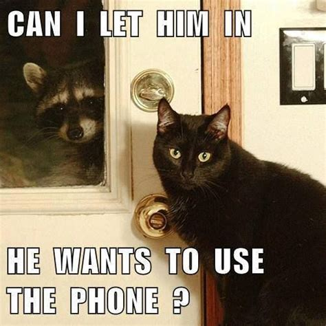 Funny Raccoon Meme - 30 best images about funny raccoons on pinterest cats