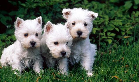 cesar breed breed information about the west highland white terrier