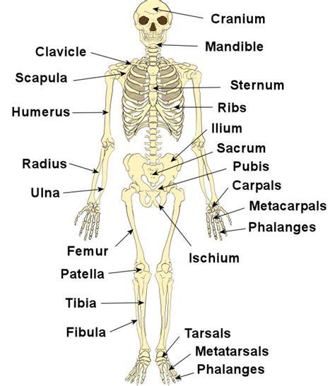 organs  skeletal system   functions  health
