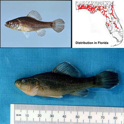 Cayona Flat Tali Stripe identification key to freshwater fishes of florida