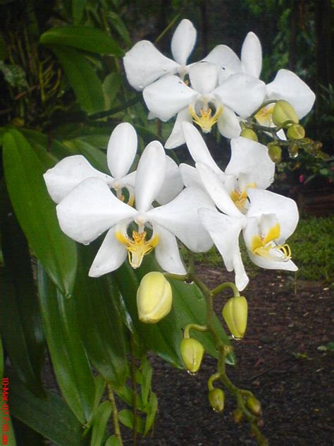 penanaman bunga anggrek diahppks blog