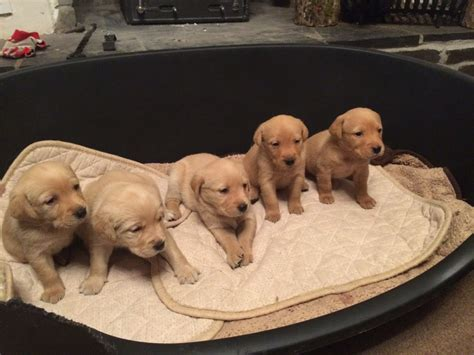 golden retriever puppies for sale cornwall golden retriever x fox labrador puppies torpoint cornwall pets4homes