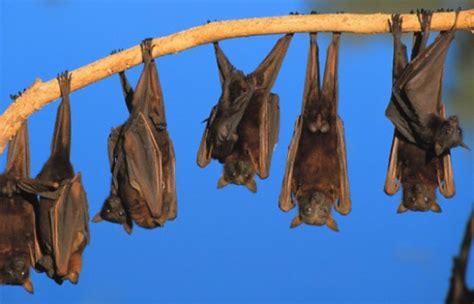 pipistrello volpe volante pipistrello quanto sei bello leganerd
