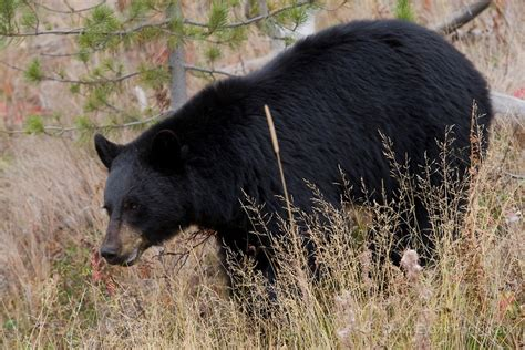 animal wildlife black bear facts  images