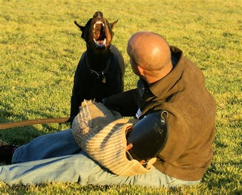 how to doberman to be a guard doberman protection dogs are they the right choice for a guard