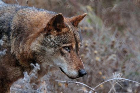 minicuentos de lobos y so 241 ar con lobos y lobas sue 241 os con cachorros lobo pesadillas con lobos sue 241 o net historias