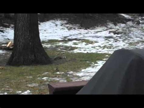 backyard squirrel hunting backyard squirrel hunting with pellet gun youtube