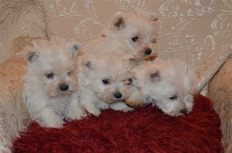 west highland terrier puppies for sale west highland terrier puppies for sale llanelli carmarthenshire pets4homes