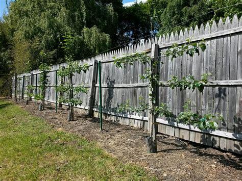 Passion Fruit Climbing Plant - how to espalier fruit trees stark bro s