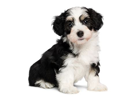 tricolor border collie puppy wallpapers puppy border collie dogs tricolor havanese animals