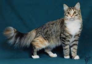 maine coon colors cats maine coon cats a feline point of view