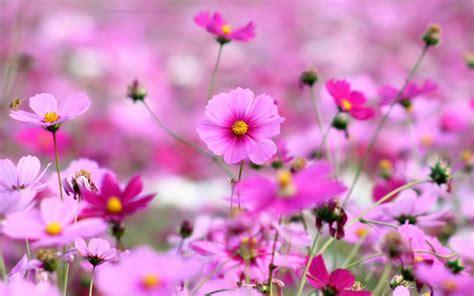 beautiful spring flowers beautiful pink blooming flower in spring hd desktop
