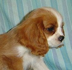 how to get rid of tear stains on shih tzu tear stains on shedding remedies havanese grooming and maltese dogs