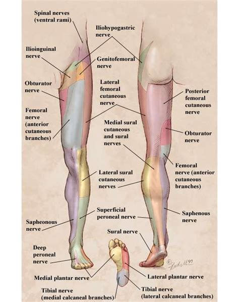 nerve pain causes nerve pain thighs 25 best ideas about peripheral nerve on pinterest