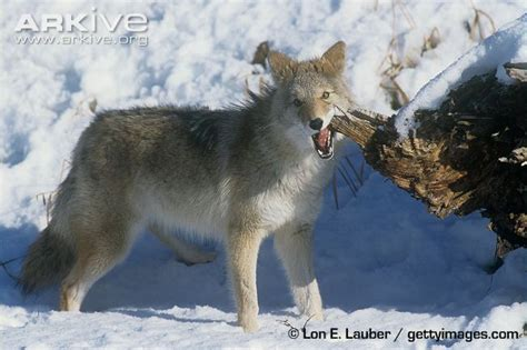 coyote videos photos and facts canis latrans arkive coyote photo canis latrans g60626 arkive