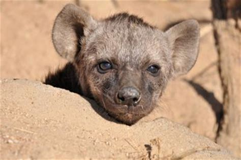 hyena puppies hyena puppies for words