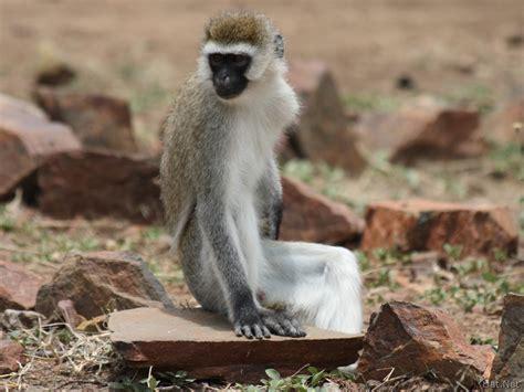 nicko the tale of a vervet monkey on an farm books vervet monkey along river nile monkeys story of africa
