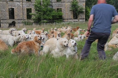 golden retriever puppies scotland 222 golden retrievers frolic in a field in scotland 187 gagdaily news