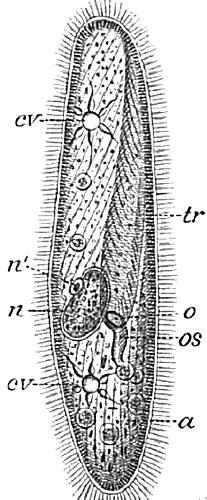 paramecium coloring free paramecium coloring pages