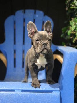 puppies for sale modesto ca best 25 bulldog for sale ideas on frenchies for sale