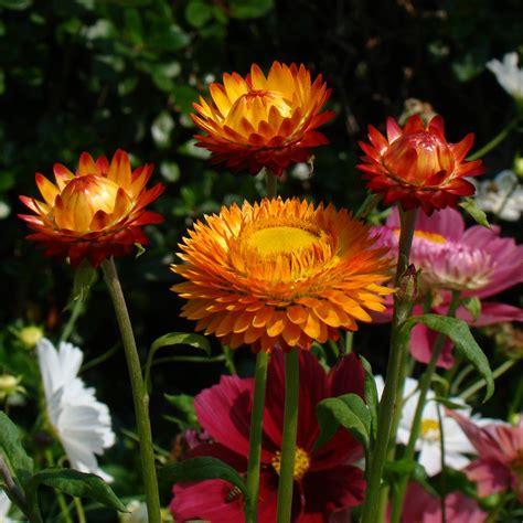 strawflowers helichrysum the seed basket