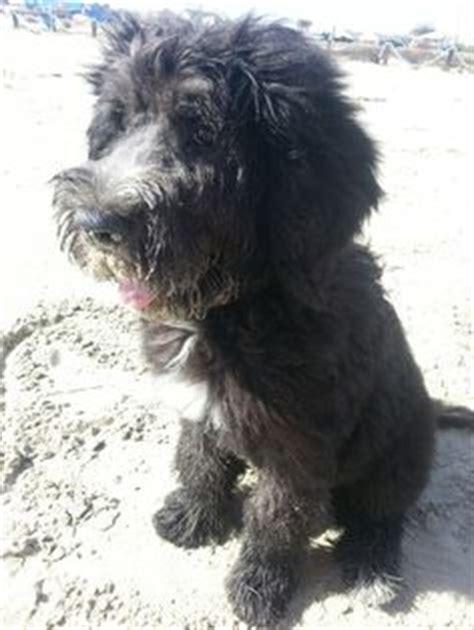 zidaho dogs berdoodle 6 month puppy bernard standard poodle mix oakley the