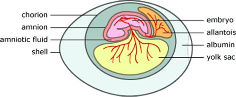 diagram of an amniotic egg introduction to the amniota