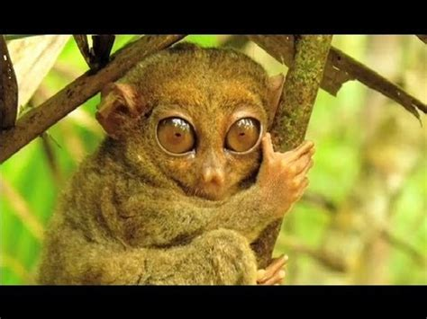 tarsiers ten fun facts youtube