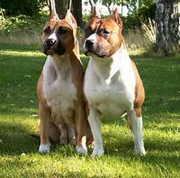 American Staffordshire Terrier  Top Dogs And Puppies