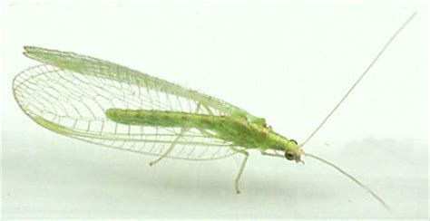 chrysoperla green lacewing