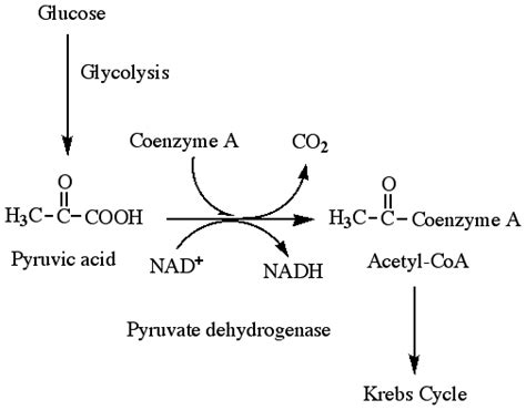 pyruvate oxidation diagram lactate to pyruvate cars entertainment