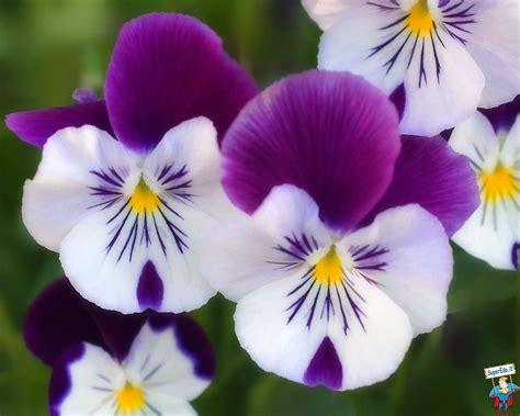 immagini fiori immagini fiori sbocciati 42 immagini in alta definizione