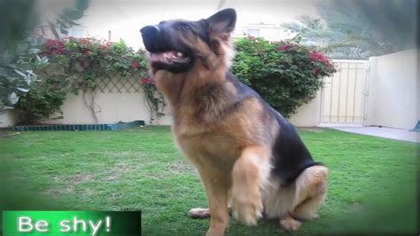 how to a german shepherd tricks german shepherd does most amazing tricks